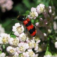 Пестряк пчелиный или пчеложук обыкновенный :: Лидия Бараблина