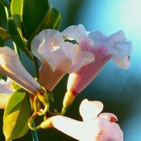 цветок вьюнка-2 :: Пётр Беркун
