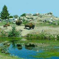 Бизоны в парке Yellowstone, штат Айдохо :: Юрий Поляков