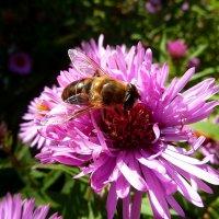 Пчеловидка на октябринке... :: Лидия Бараблина