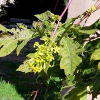 Цветет папайя :: Герович Лилия