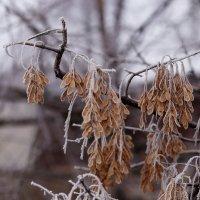 Когда нет снега...ни капельки... :: Юрий Гайворонский