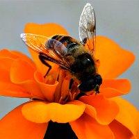 Пчела на цветке :: Татьяна Мирохина