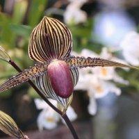 Полосатая орхидея :: ZNatasha -