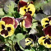 А анютки цветут и радуют глаза... :: Валерий Подорожный