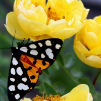Ночная бабочка и розы. :: Восковых Анна Васильевна