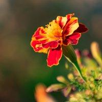 Цветок бархатца :: Cissa Andebo