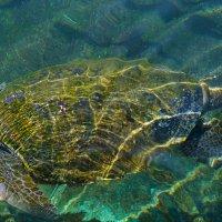 Морская черепаха. Эйлат. Красное море :: Александр Деревяшкин
