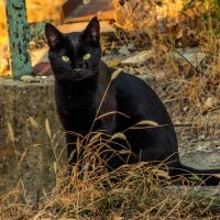 Черный кот :: Cissa Andebo