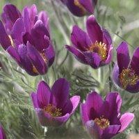 Сон-трава. Pasque-flower :: Юрий Воронов