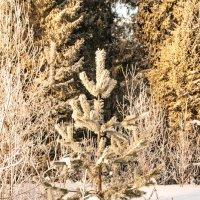 в лесу росла.... :: petyxov петухов
