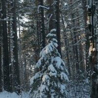 В лесу родилась ёлочка, в лесу она ростёт.. :: ОКСАНА ЮРЬЕВНА ШВЕЦ