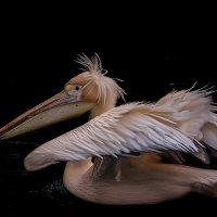 Удивлённый пеликан :: Alexander Andronik