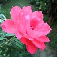Садовая роза. :: оля san-alondra