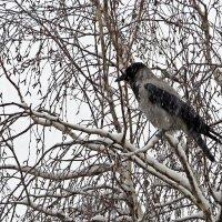 Ворона не  ждала снега , а  мои  гости улетели вчера так и не увидев русскую зиму! :: Виталий Селиванов