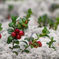 маленькие ягодки, твердые листочки... :: Татьяна .