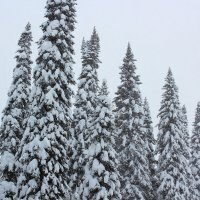 Лесные великаны!!! :: Радмир Арсеньев