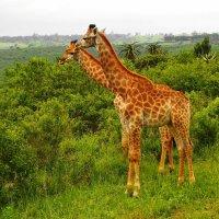 Жирафы..саванна.. :: Александр Владимирович Никитенко