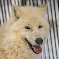 Наз 4527 Полярный волк :: Аркадий Лаптенко