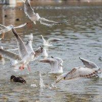 озёрные чайки :: Viktor S