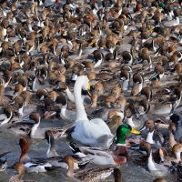 Безумие на лебедином озере :: slavado