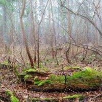 Туман в лесу :: Александр Синдерёв