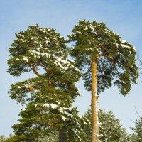 сосны опушки зимнего леса :: владимир