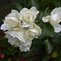 Белые розы :: Нина Синица