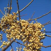 плоды на дереве. :: Зинаида