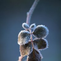 Роза на морозе :: Евгения Кирильченко