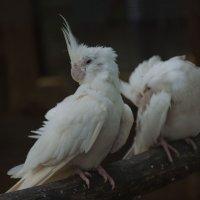 Сонные попугаи :: Глеб Дубинин