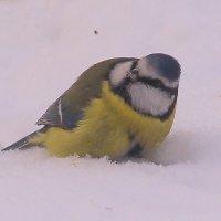 Про лазоревку и снег :: Татьяна Ломтева