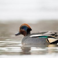 Чирок-свистунок на воде :: Михаил Ездаков