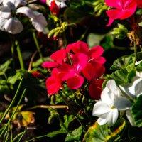 Цветы :: Геннадий Колосов