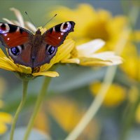 Бабочка :: Дмитрий Перских