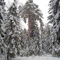 Зимой в лесу :: Ольга Довженко