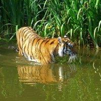 Тигр :: Nina Yudicheva