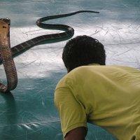 Королевская кобра :: Николай