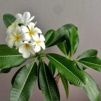 Плюмерия — самая ароматная среди красивоцветущих :: Елена (ЛенаРа)