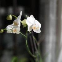Орхидея расцвела. :: веселов михаил