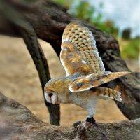 Сипуха — сова, отличающаяся необычной внешностью. :: Ольга Русанова (olg-rusanowa2010)