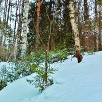 маленькой елочке холодно зимой :: Владимир