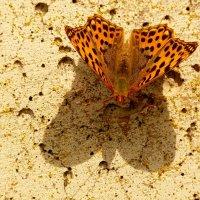 и снова про бабочек 6 :: Александр Прокудин