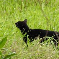 Кошка ,которая гуляет сама по себе ..(встреча в лесу) :: Гала