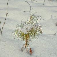 Маленькой елочке холодно зимой... :: Андрей