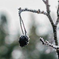 Ягода зимой.. :: Юрий Стародубцев