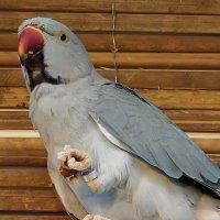 Ожереловый попугай :: Ольга И