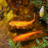 Золотые рыбки :: Liudmila LLF