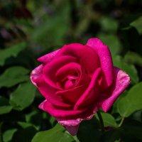 Роза :: gribushko грибушко Николай