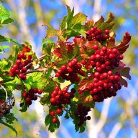 Гроздь красных ягод. :: Штрек Надежда